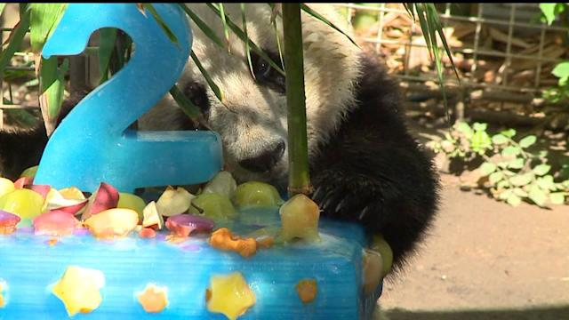 Zoo Celebrates Panda`s 2nd Birthday