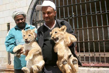A worker holds lion cubs outside their cage at a zoo in Yemen's southwestern city of Taiz February 23, 2016. REUTERS/Anees Mahyoub