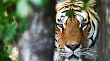 Global Tiger Day, tigri in aumento in 5 Paesi