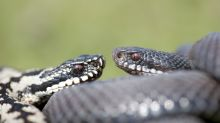 WATCH AND TELL: Are these snakes fighting or mating?