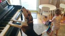 Dog Plays Piano And Sings, So Don't Kibble Over His Talents