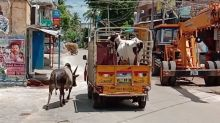 Bull chases truck carrying cow mate, and both reunite in heartwarming moment in India
