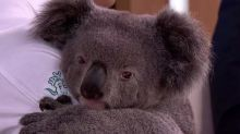 Funding boost to help increase koala population
