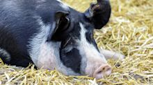 Beloved Pet Pig Slaughtered For Meat At Neighbor's House After Getting Loose