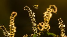 Wild bee decline threatens major US crops: study