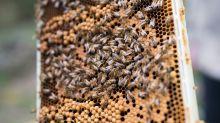 Il miele come l'oro: furti negli alveari, una famiglia di api vale 300 euro
