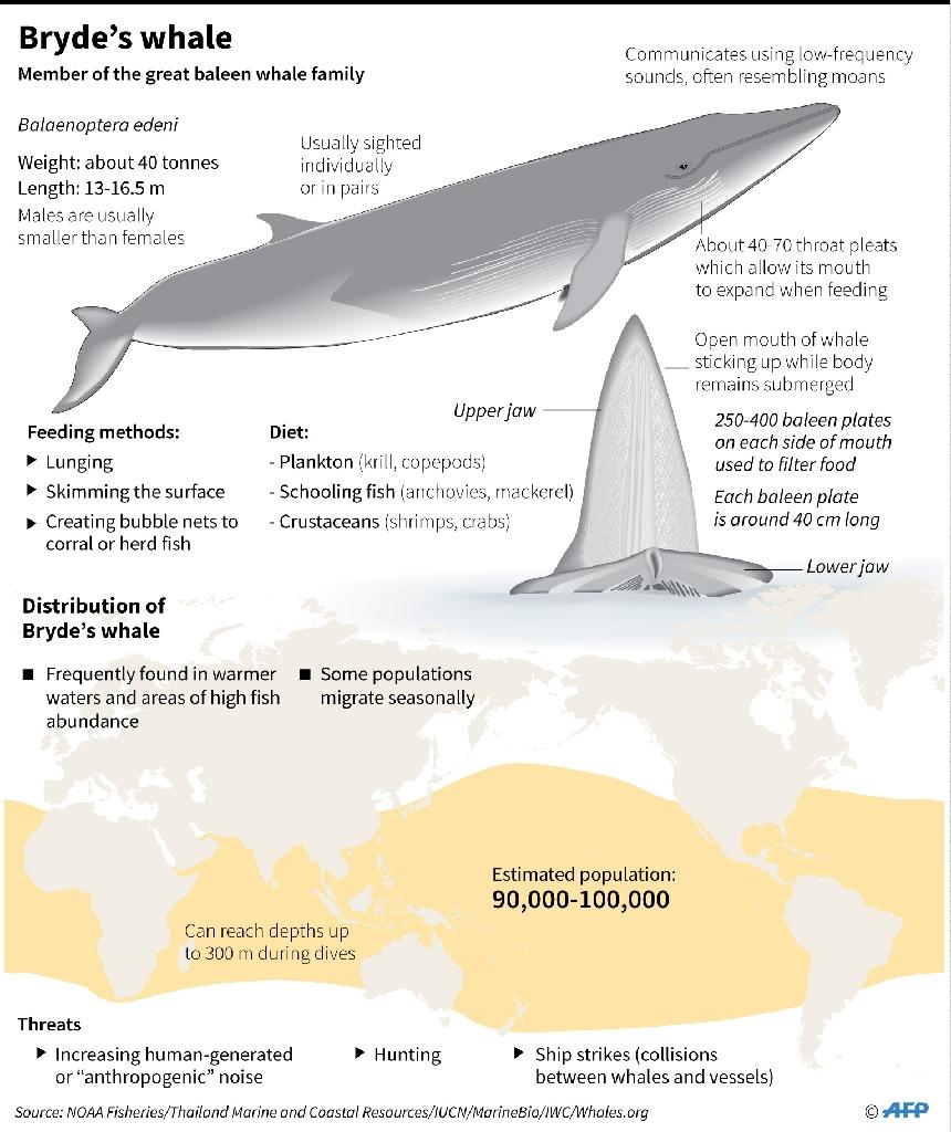 A factfile on the Bryde's whale (AFP Photo/Laurence CHU, Gal ROMA)