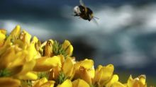 'Bee-killing' pesticide now will not be used on UK sugar beet fields