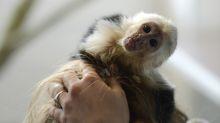 A monkey named JoJo ruins 'Monkey Mondays' at Florida restaurant by biting child