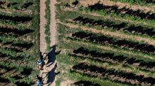 Crime in the vines: Alsace fights grape theft on horseback