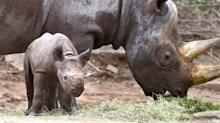 It is now legal to trade rhino horn in South Africa – but will the ruling save or slay the troubled species?