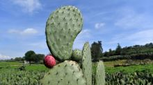 Mexico's prickly pear cactus: energy source of the future?