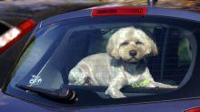 """Animaux souffrant du mal des transports : la lavande """"apaise le chien et le chat"""", selon la vétérinaire Laetitia Barlerin"""