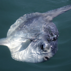 Biggest Ocean Sunfish Found in New Zealand Is the First Species of Its Kind Discovered in 130 Years