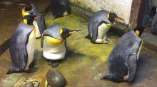 Pareja gay de pingüinos desesperada por ser padres secuestra a un polluelo