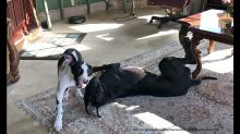 Talkative puppy loves playing with Great Dane