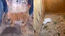 Búsqueda de tigre de bengala en México destapa lugar de sacrificios, cultos y ritos