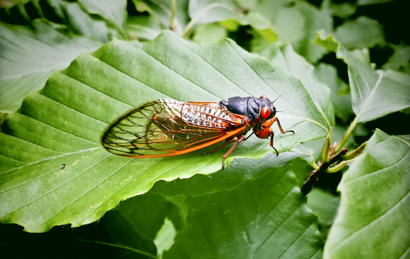 Millions of 17-year cicadas will emerge in the South, creating 'substantial noise issue'