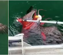 A bald eagle got into a fight with a giant red octopus, until some salmon farmers came along to untangle them