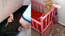 小橘貓肚子餓躺搖床喝奶奶 網笑:進化成嬰兒了!