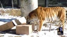 Denver Zoo's Amur Tiger Baffled by Cardboard Box