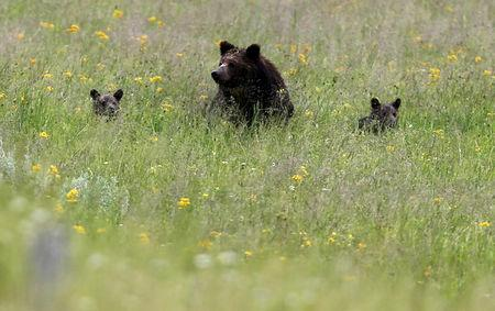 FILE PHOTO: A grizzly bear and her two cubs is seen on a field at Yellowstone National Park in Wyoming, United States, July 6, 2015. REUTERS/Jim Urquhart/File Photo