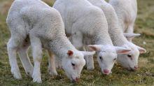 Il ruggito degli agnelli