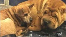 Cachorro cego se recusa a fazer qualquer coisa sem seu melhor amigo