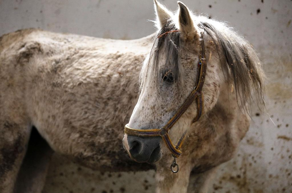 Arabian mare Karen is one of dozens of Arabian horses from all over Syria recovering from the impact of conflict (AFP Photo/LOUAI BESHARA)