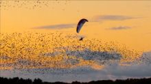 Paraglider dances in sky with thousands of starlings