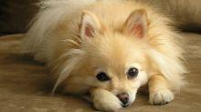 Hund bekommt zu wenig Futter - und rastet aus