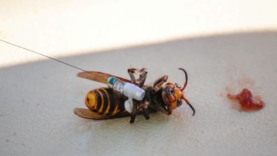 First 'murder hornet' nest eradicated in U.S. [Video]