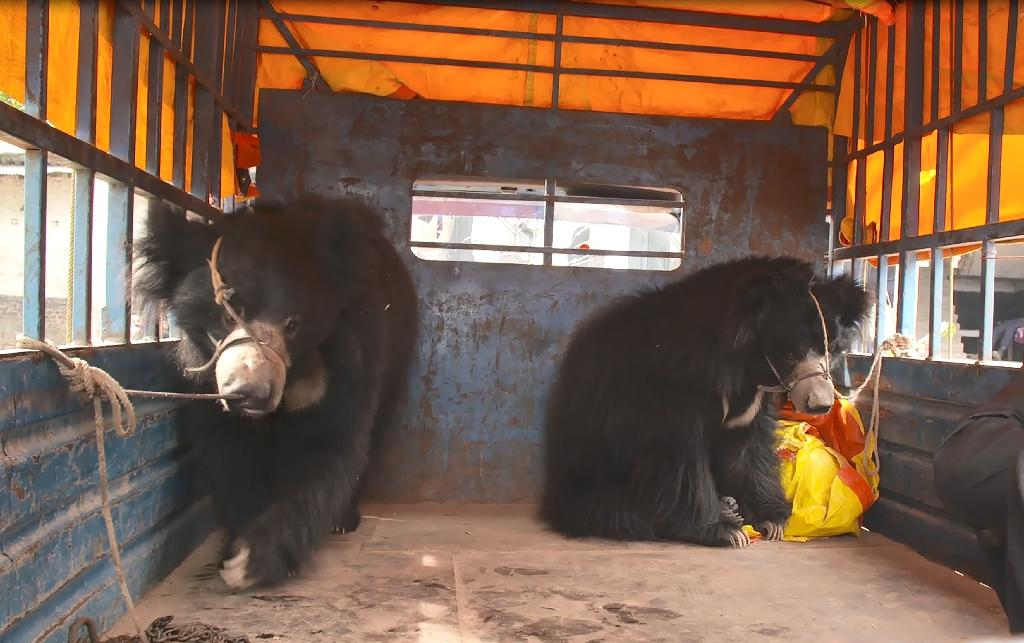 The two sloth bears were rescued in southern Nepal in December last year from a pair of itinerant street performers who used the animals for entertainment