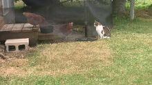 Cat stalks chicken coop, tries to make new friends