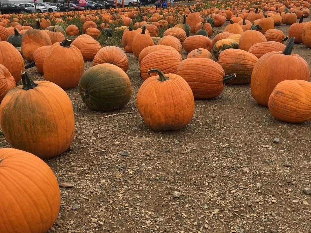 Here are some pumpkin patch options in and around Falls Church to visit this fall.