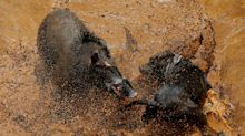 Fight contest: Indonesian villages pit wild boars against dogs