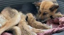 Von Löwenmutter verstoßen: Schäferhündin adoptiert zwei kleine Raubkatzen