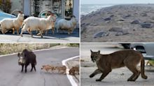 Coronavirus: Emboldened animals reclaim city streets as millions stay indoors in lockdown