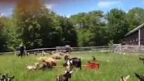 Viral Goats Learn to High Jump