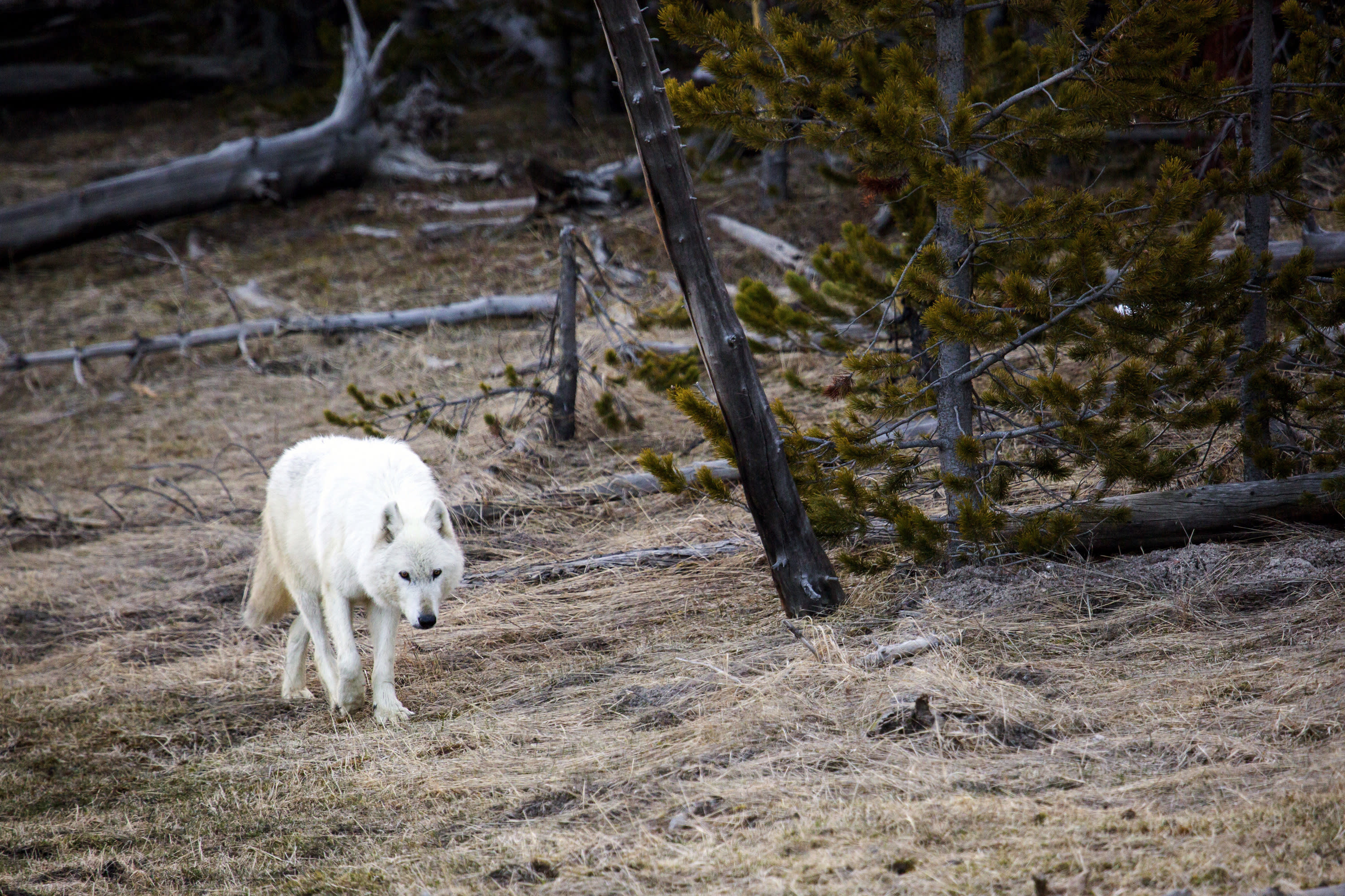 $10K reward offered for killer of rare Yellowstone wolf