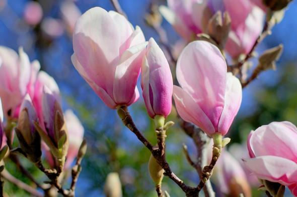 """<p> <span style=""""font-size:10pt;"""">""""These astonishing goblet - or star-shaped flowers found on trees or shrubs are much admired seasonal icons, and for good reason.""""</span></p> <p class=""""p1""""> <strong>Top magnolia viewing spot:</strong>Nymans, West Sussex.This spectacular garden is famed for its amazing collection of rare and important plants. In spring the stars of the show are magnificent magnolias, underplanted with drifts of daffodils and grape hyacinths.</p> <p class=""""p1""""> <strong>Also see magnificent magnolias at:</strong>Winkworth Arboretum, Surrey;Glendurgan Garden, Cornwall;Bodnant Garden, Conwy</p>"""