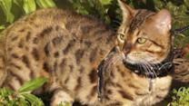 Ligers? Hybrid Cats Are Popular, Controversial Pet