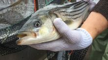 Nova Scotia striped bass comeback prompts more study