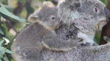 Wildlife Sanctuary Celebrates Successful Koala Breeding Season in Wake of Devastating Bushfires