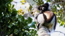 Extinction: One third of all lemurs 'on the brink'