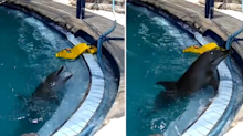 Dolphin driven 'psychotic' by captivity rescued and freed into the ocean