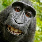 Monkeys cannot own a copyright, judges rule in infamous monkey selfie lawsuit