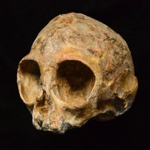 'Alesi' the baby ape, the earliest complete skull from the line which led to humans - Credit: Fred Spoor