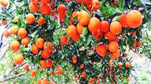 Maharashtra orange farmers in grip of drought as nearly 40-60% crop dries up