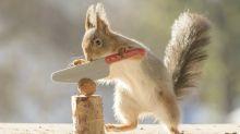 Kampf gegen die Nuss: Fotograf inszeniert skurrile Bilder mit Eichhörnchen